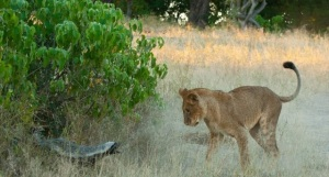 A young female lion, about to learn the value of running away herself.