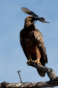 A Fork-tailed Drongo asking an Eagle to go away.