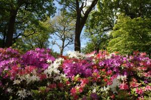 Do it! Azaleas respond well to pruning.