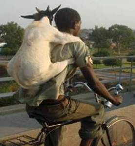 There are safer ways to ride your bike around goats.