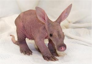An aardvark. Just because.