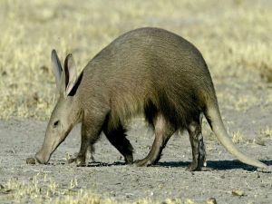 For some bizarre reason, no sports team has ever been named after the Aardvark.