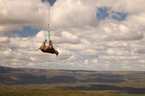 I couldn't find any rhino translocation pictures. So here's a picture of one bungi-jumping instead.