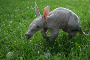 Not that I'm saying that Aardvarks are comical. At all.