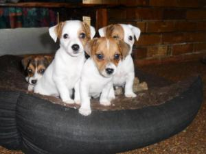 Bad example. I gave these Jack Russell puppies some Benzedrine, and they ended up looking pretty damned focussed.