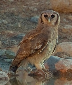 2012-giant-eagle-owl