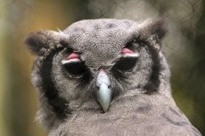 The Verreaux's Eagle Owl is one of the few birds capable of showing embarrassment.
