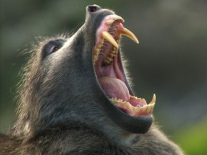 "Scientists have described baboon teeth as being ""quite big""."