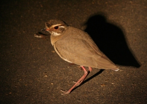The Bronze Winged Courser, wiliest of Africa's big game. Dangerous when cornered.
