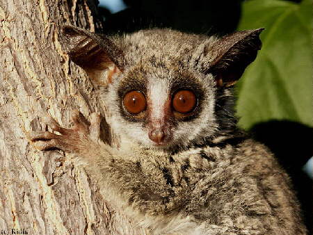 Bushbabies are always surprised to see you