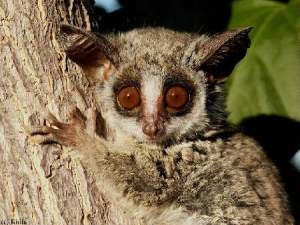 Bushbabies are always surprised to see you.