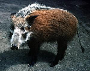 A Bushpig. I think. It might be a Pangolin.