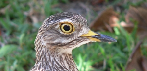 Dikkop_-_Burhinus_capensis