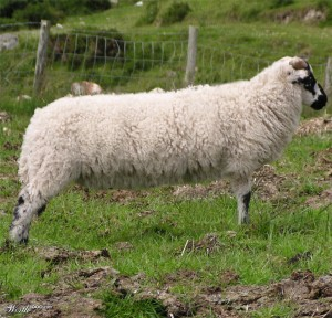 Few people know that sheep in New Zealand are mechanically stretched in order to increase wool production.