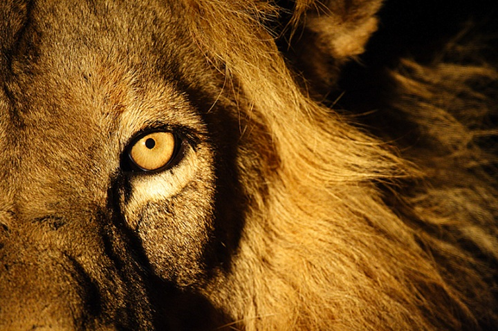 Angry Lion  HD Wallpapers