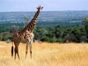 The gentle giant of the African wild. Snort.