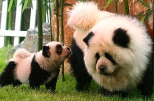 8-panda-dog-354