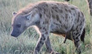 Bambi was already taken.