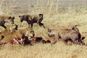 lions-and-hyenas
