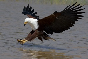 Animal behaviourists have spent years training  Fish Eagles to water-ski.