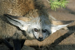 While they have not yet mastered true flight, with a decent run-up a Bat-eared fox can glide for over 300 metres.