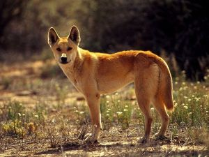 Having lived in Australia for the last 5 to ten thousand years, Dingoes have evolved both venom and laser vision.