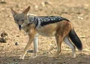 This is a Black Backed Jackal. It is not, you will note, smiling.