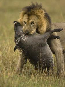 A lion being kind.