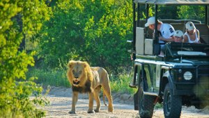 Land Rovers are big. So are lions.