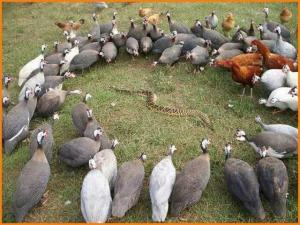 The chickens are just there because of peer pressure.