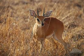 The also-ran of the tiny buck world.