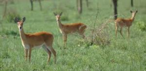 An oribi herdette in the short grass.