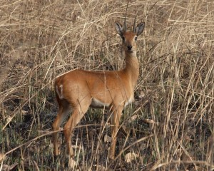 A lone oribi in the long grass.