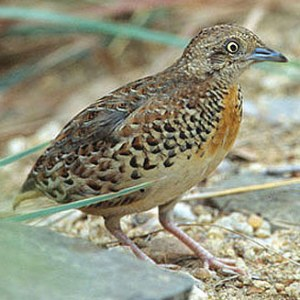 Small%20Buttonquail%20Turnix%20sylvaticus%20Thanks%20to%20Johann%20and%20Liz%20Grobbelaar