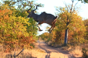 Yup. Kudus can fly.