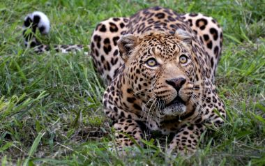 african-leopard