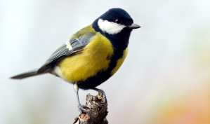 great-tit-bird
