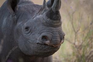 Black-rhino-smile-DSC_5580.jpg-JH