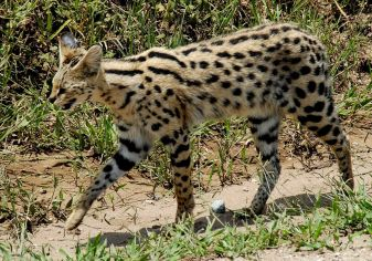 1200px-Leptailurus_serval_-Serengeti_National_Park,_Tanzania-8
