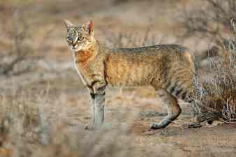 African-wild-cat-TNR
