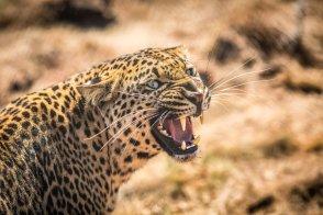 growling-leopard-Kruger